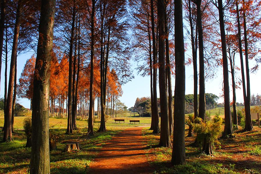 寒い季節に色づくメタセコイア