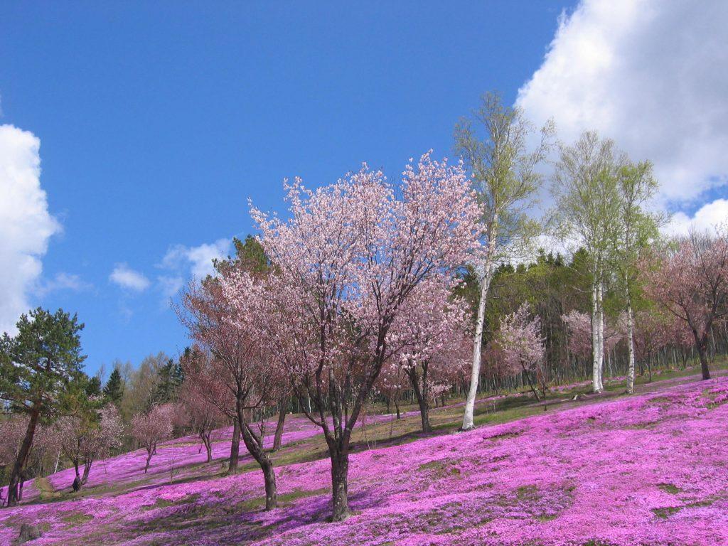 5月上旬頃から一面に広がる芝ざくら