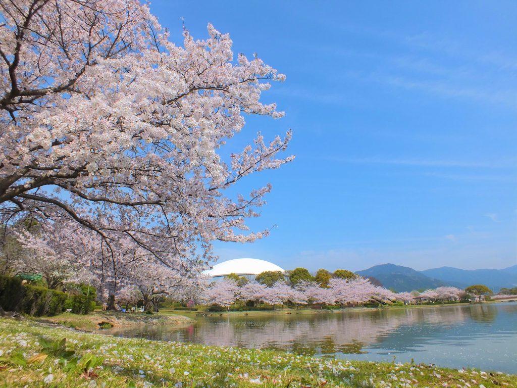 春には700本もの桜が満開に